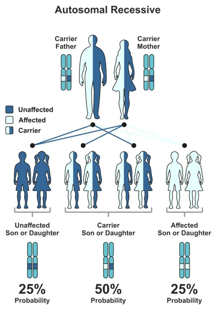 autosomal recessive diagram showing when 2 parents are carriers genetic testing for pregnancy may be considered