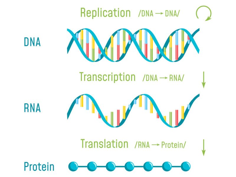 photo showing dna transcription and translation