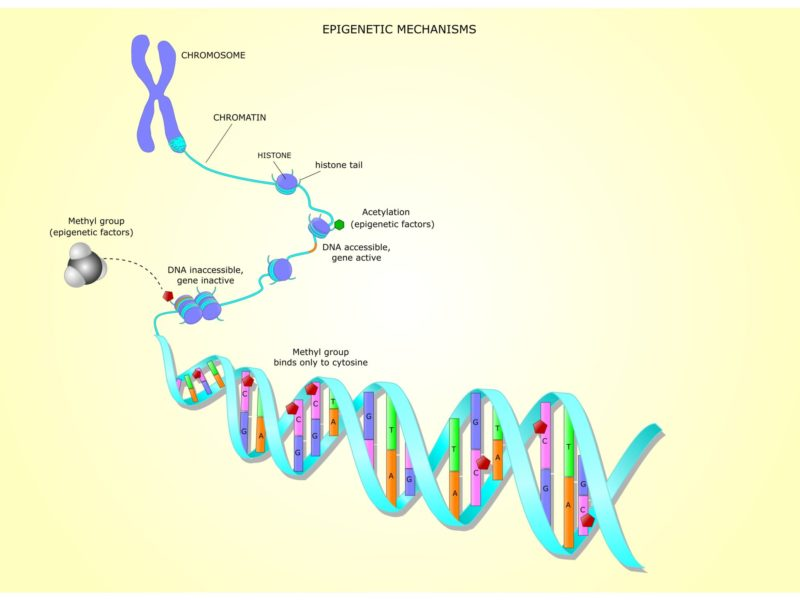 photo of epigenetic mechanisms: the methylation or acetylation of the dna can activate or not the gene transcription
