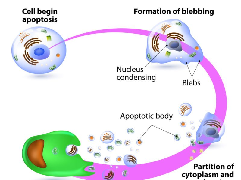 Diagram showing the process of apoptosis, programmed cell death